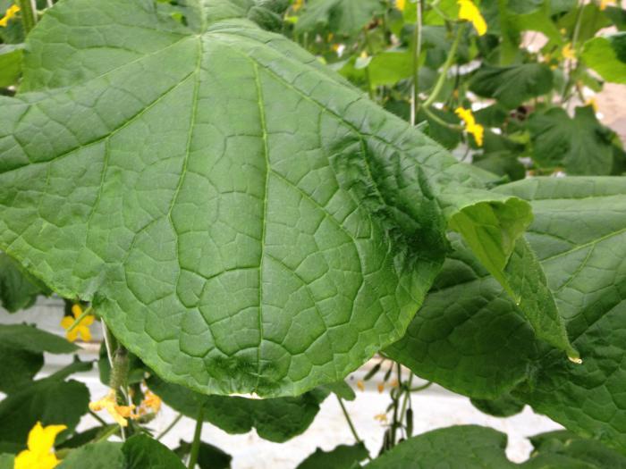 листья рассады огурцов сохнут по краям - Prakard | 525x700