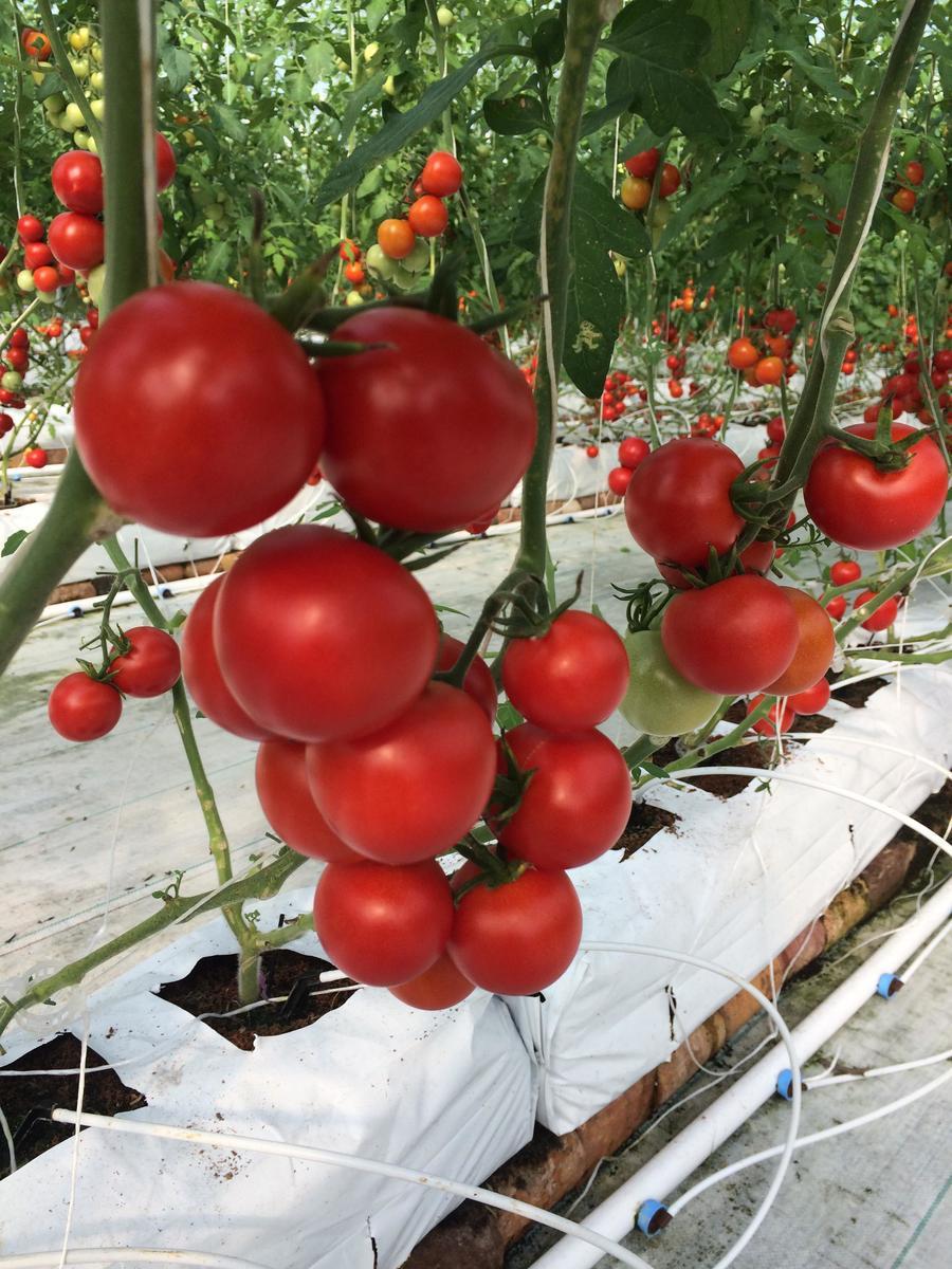 томат в теплице картинки контакта приложения