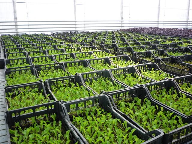 Подготовка семена гидропоники сколько дней выводится из организма конопля