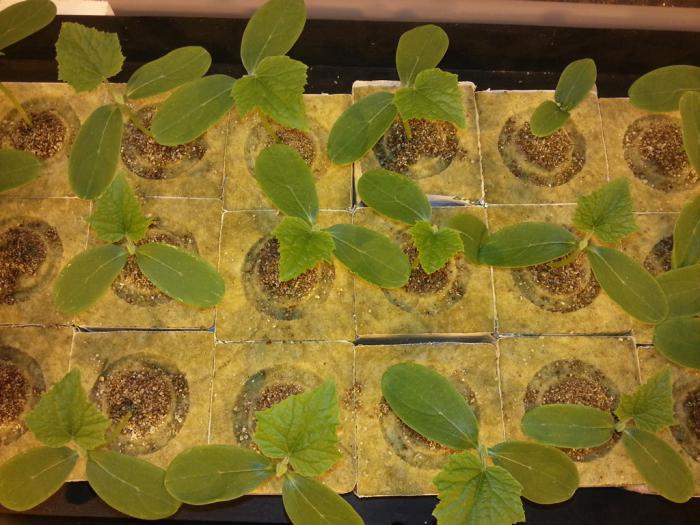 Почему у рассады огурцов сохнут края листьев у 50